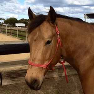 Image of Nugett the Quarter Horse